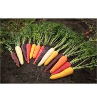 Five Colour Carrot